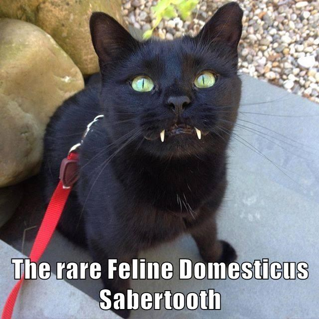 The rare Feline Domesticus Sabertooth