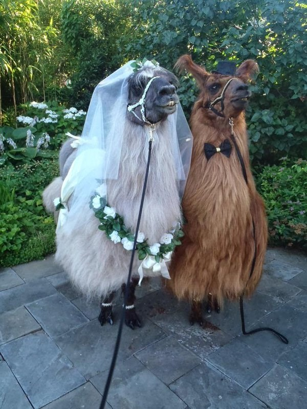 mr and mrs llama wedding
