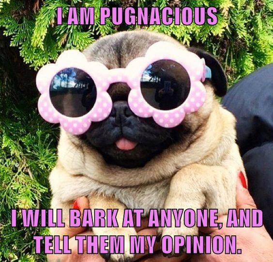 I AM PUGNACIOUS  I WILL BARK AT ANYONE, AND TELL THEM MY OPINION.