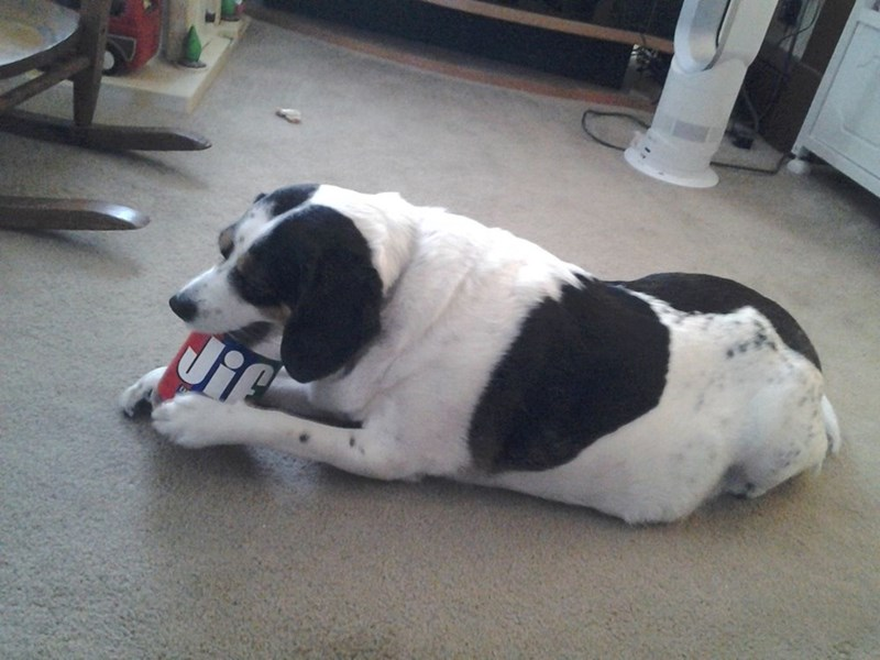 dogs jif peanut butter - 8965259264