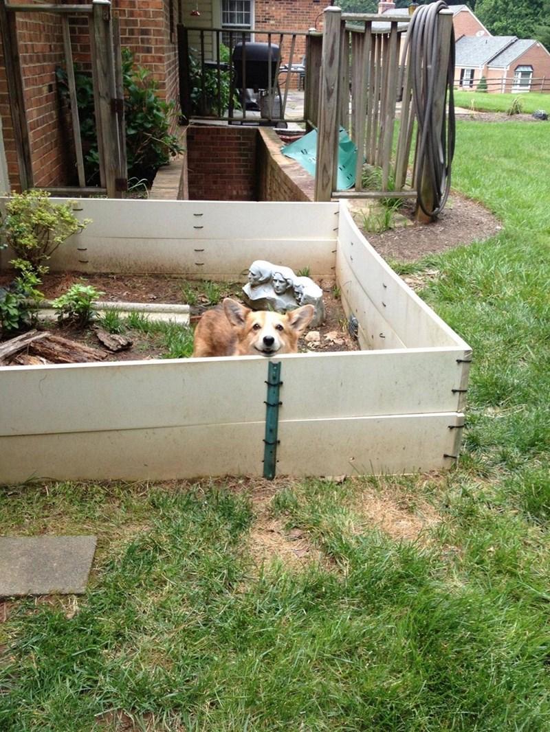 dogs corgi - 8965260032