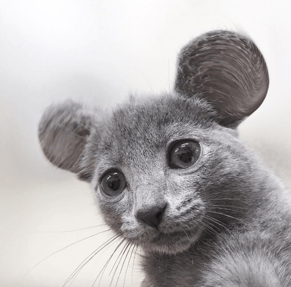 mouse ears - Vertebrate