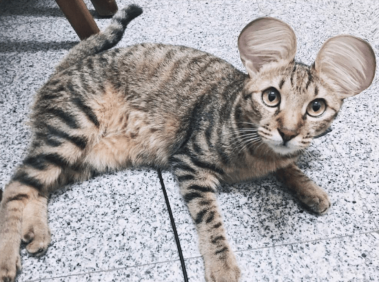 mouse ears - Cat