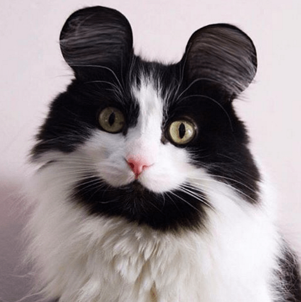 mouse ears cat
