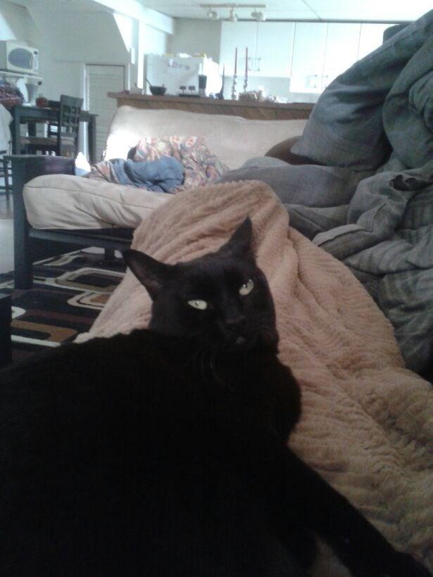 Cats black cat - 8965793792