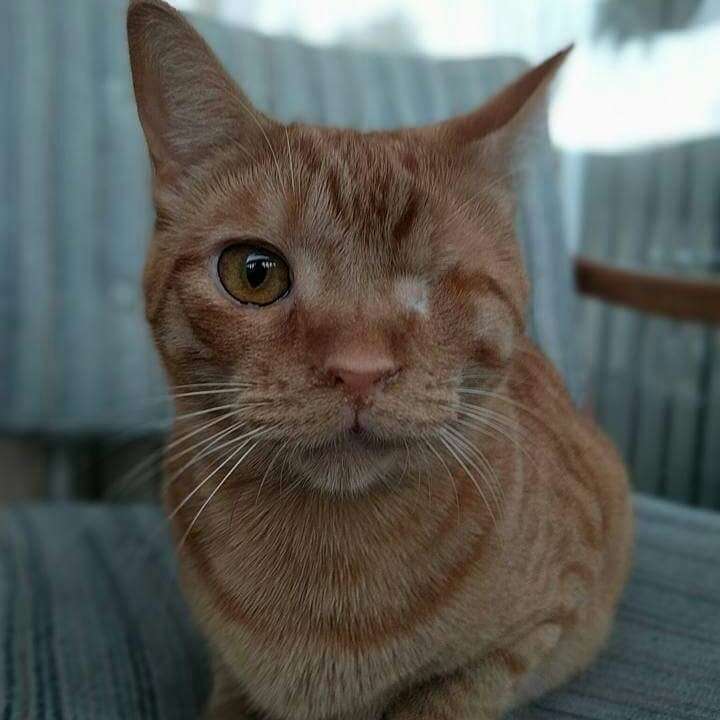 Cute cat with only one eye, but the other eye has been treated and closed up by a doctor.