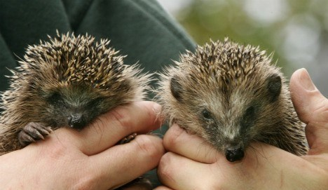 """That must have been a first for local law enforcement. A man called the police complaining about """"loud panting"""" coming from under the entrance stairs of his house. Turned out that a pair of hedgehogs had been mating there for about 20 minutes. Turned out that if the man had not called, the fun would have gone on for hours. BTW, no arrests were made..."""
