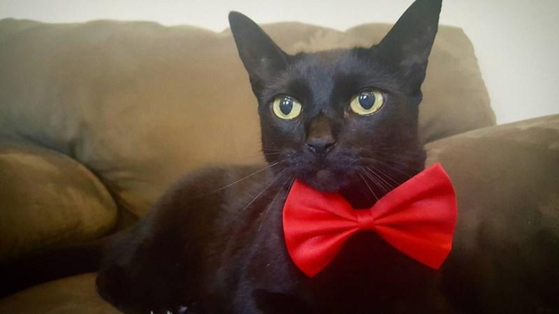 elegant bow tie Cats - 8966167296