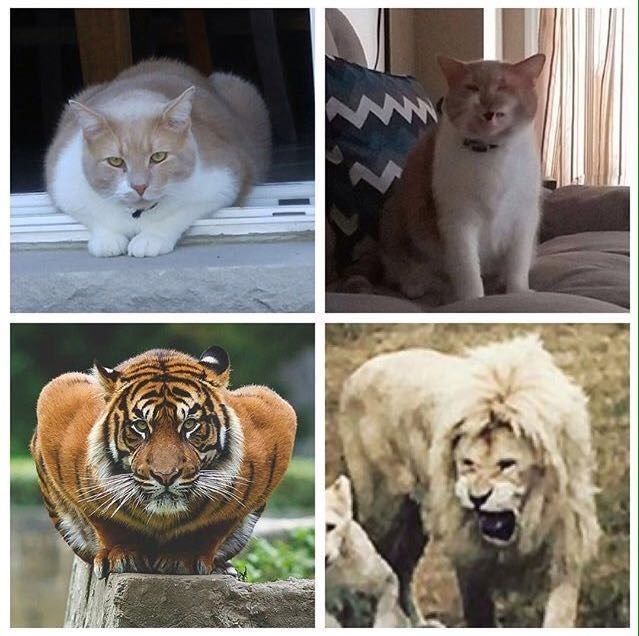 tiger lion Cats wild - 8966173184