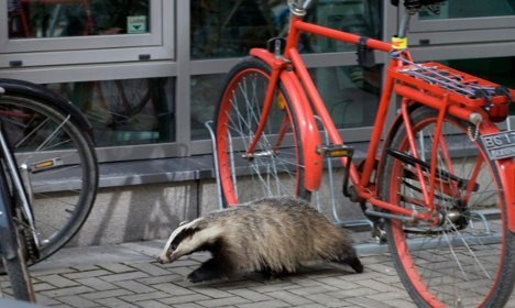 Sounds like a joke, but it really happened. When the Swede was asked to leave (with the dead badger), the man got upset and started hitting parked cars outside with the dead animal. Try to explain that to your car insurance company!