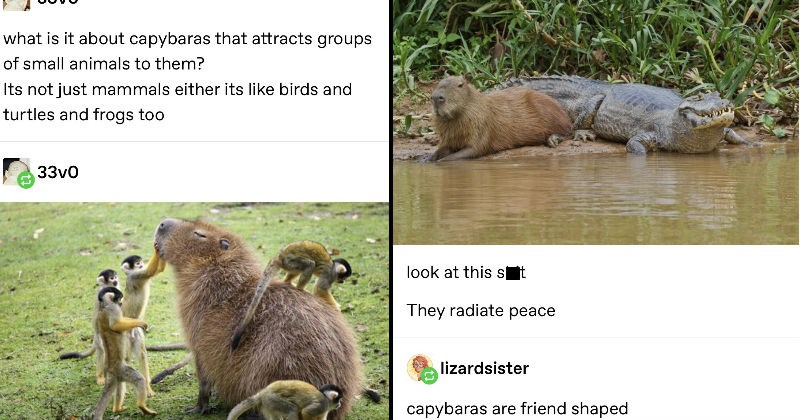 capybara wholesome tumblr capybaras rodent friends cute chill mom animals - 8966405