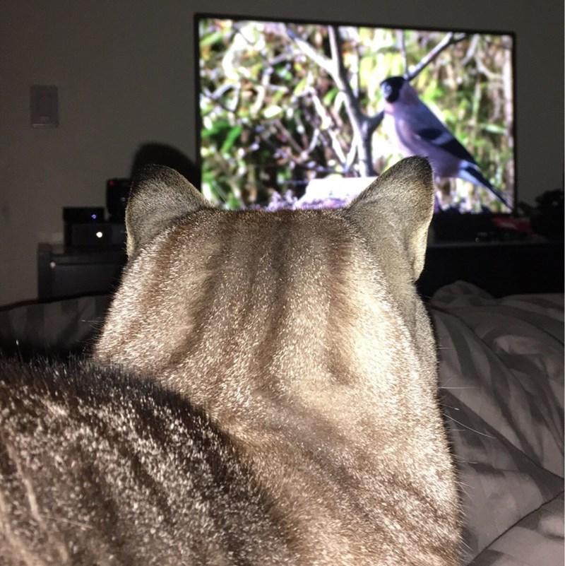 birds TV Cats - 8966472704