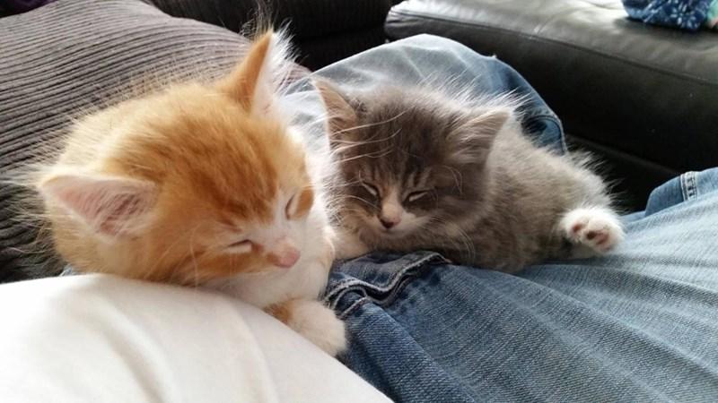 floof kitten Cats - 8966486272