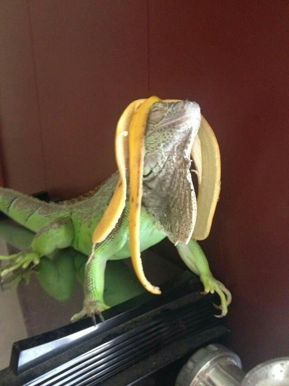 man i make this banana peel look good iguana