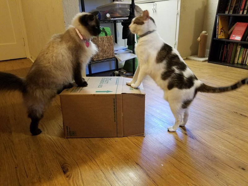 showdown,box,fight,Cats