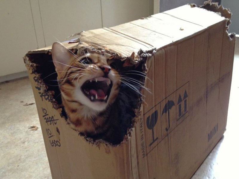 bagel the bengal destroyer of boxes