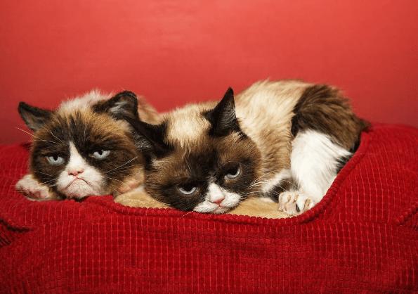 Cat - grumpy cat