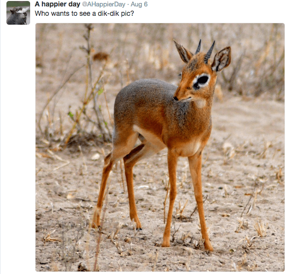 Vertebrate - A happier day @AHappier Day Aug 6 Who wants to see a dik-dik pic?