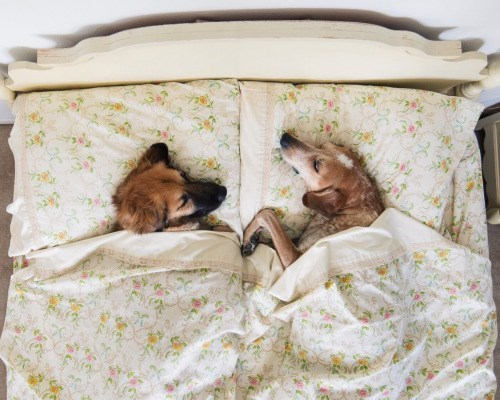 dogs sleeping - 8968797696