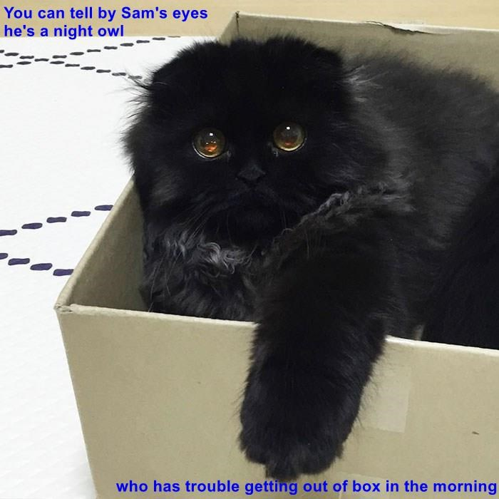 You can tell by Sam's eyes                                                             he's a night owl  who has trouble getting out of box in the morning