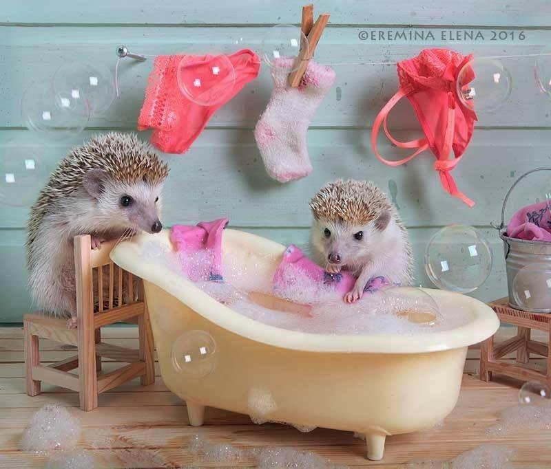 Hedgehog - OEREMINA ELENA 2016