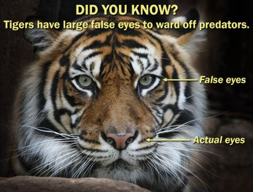 image trolling tiger Wow! Tigers Sure Are Amazing