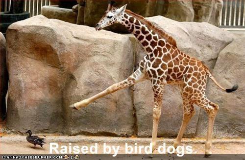 Raised by bird dogs.