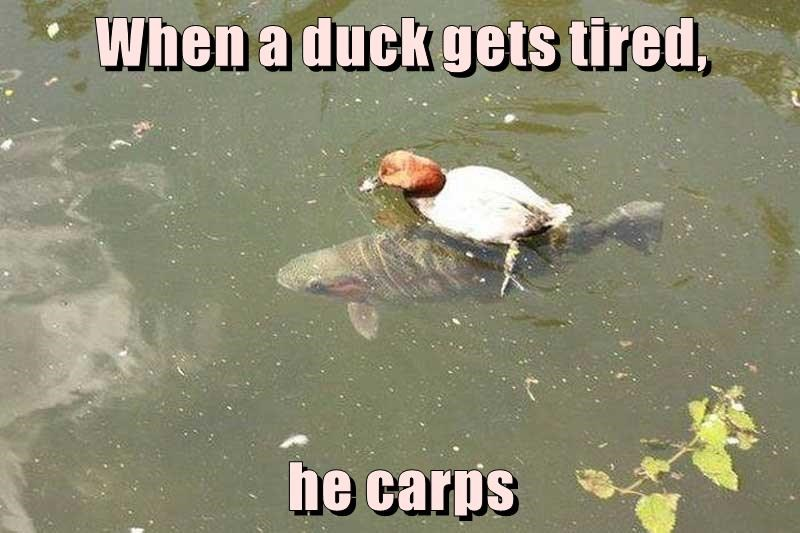 When a duck gets tired,  he carps