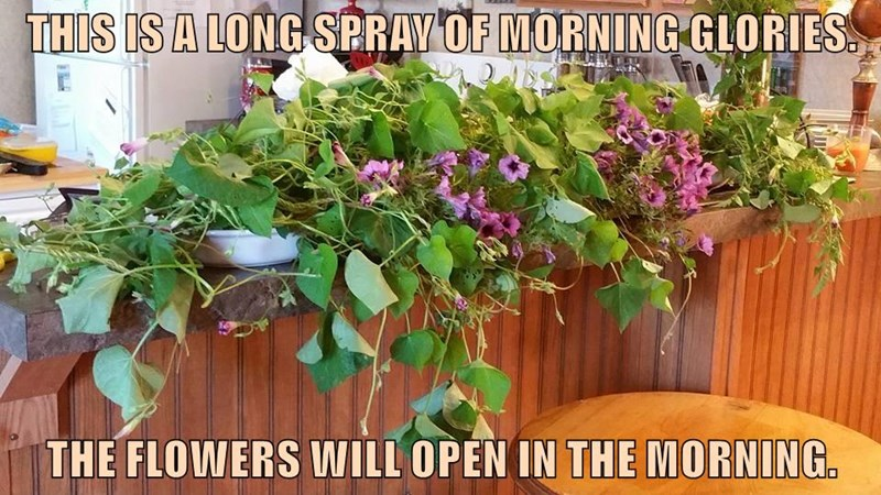THIS IS A LONG SPRAY OF MORNING GLORIES.  THE FLOWERS WILL OPEN IN THE MORNING.