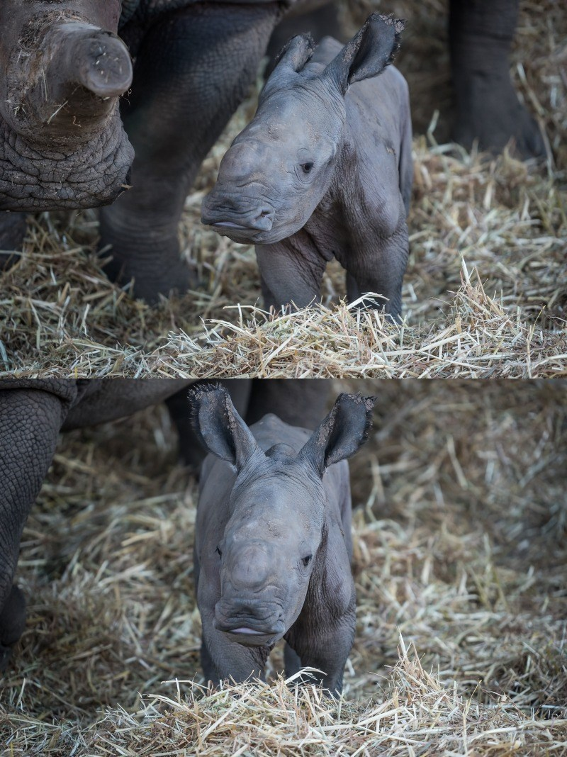 White Rhino Calf Makes His Debut at a Zoological Center in Tel Aviv