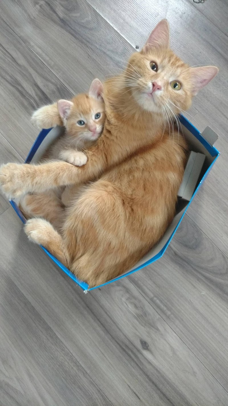 Funny picture of a momma cat and her son fitting into a box and sitting into it.