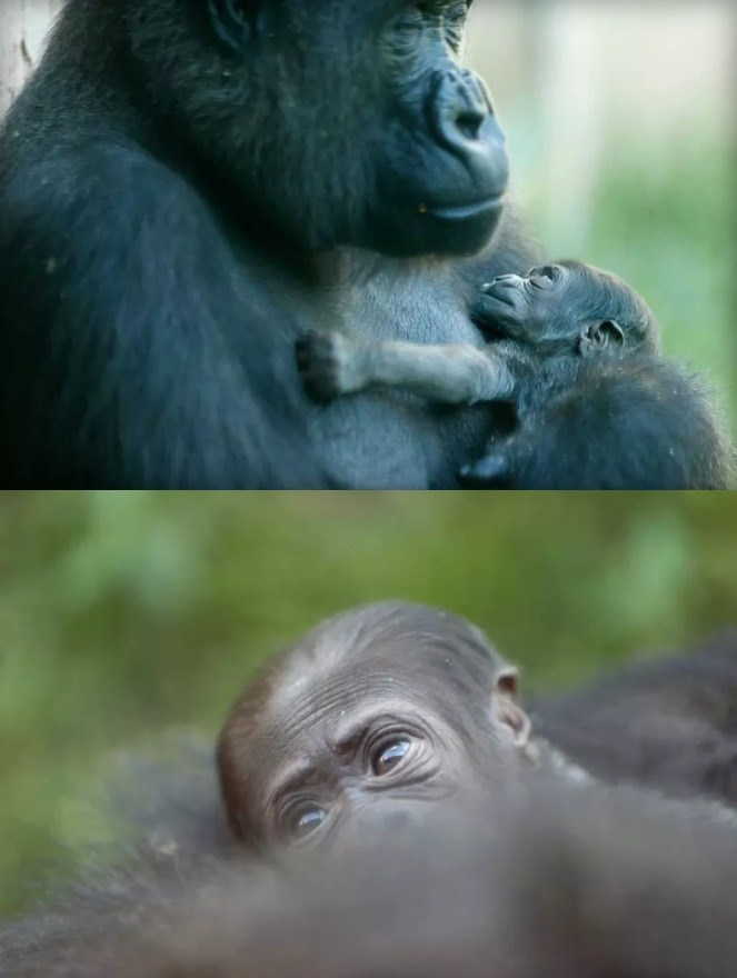 the philadelphia zoo is letting the public name their new baby gorilla well sort of