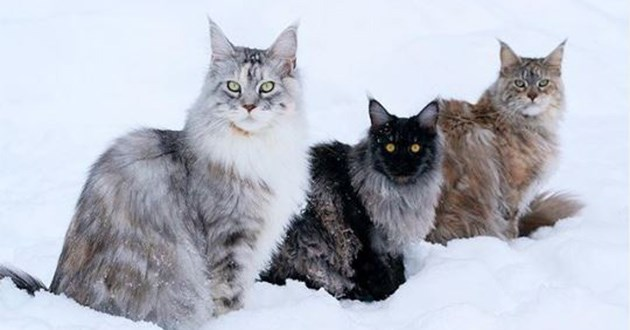 instagram maine coon queens