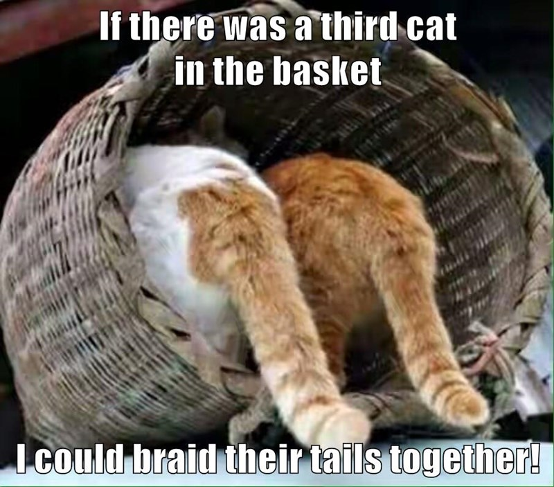If there was a third cat                                                                                          in the basket  I could braid their tails together!