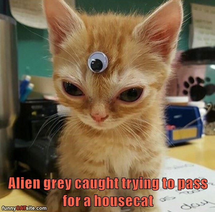 Alien grey caught trying to pass for a housecat