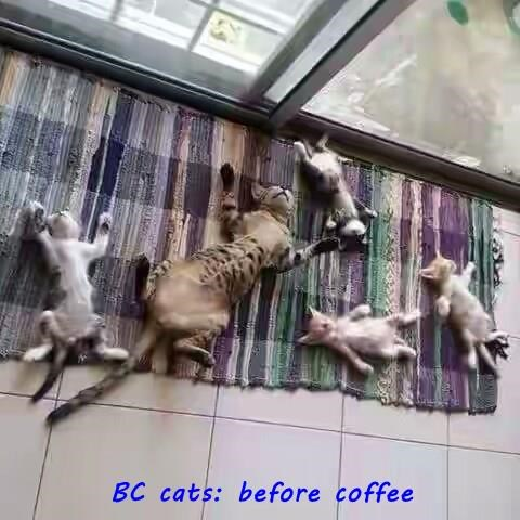 BC cats: before coffee