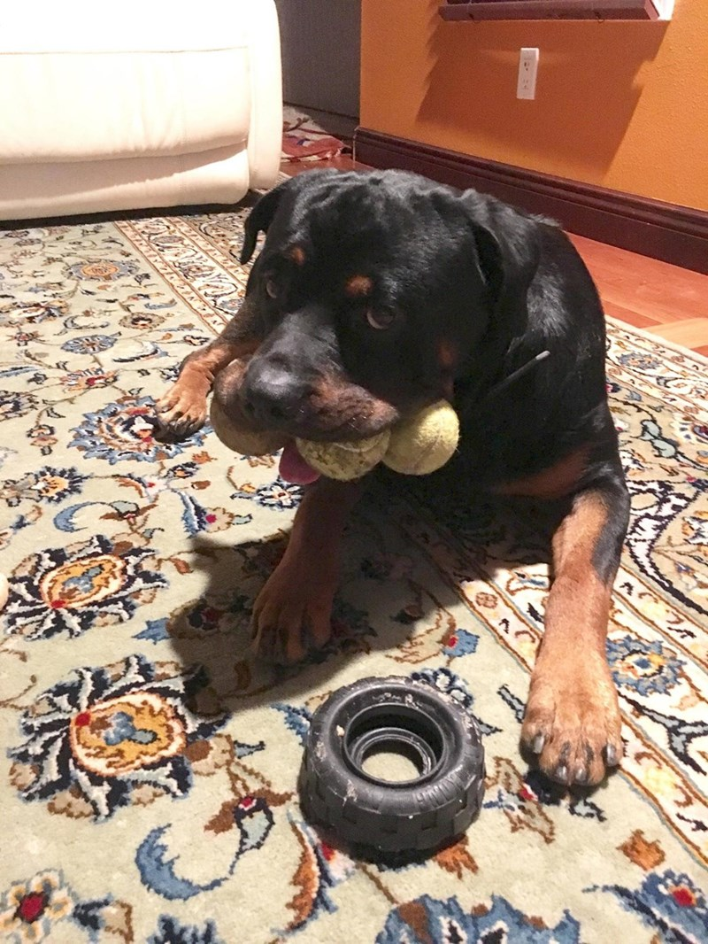 dogs rottweiler tennis ball - 8975629568