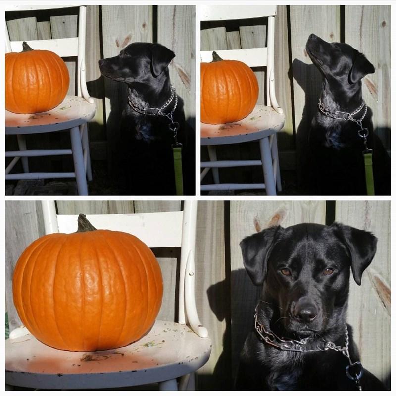 dogs,pumpkins