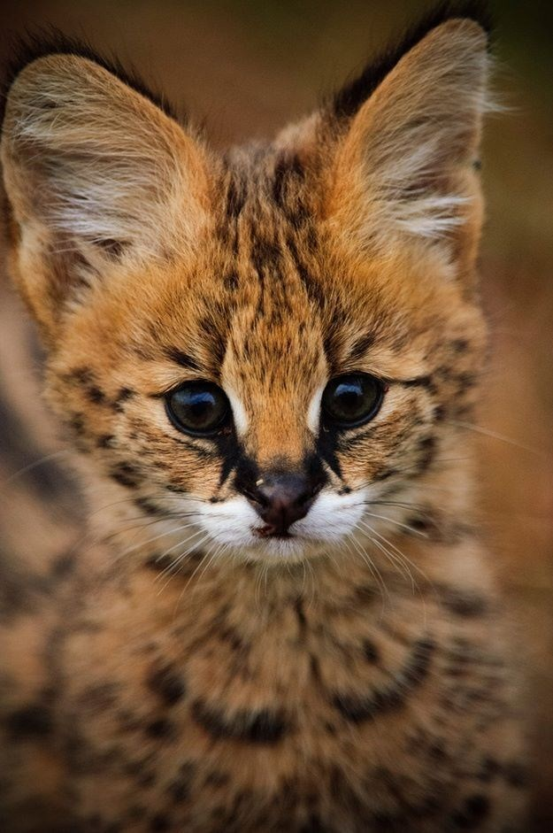 serval Cats - 8975631872