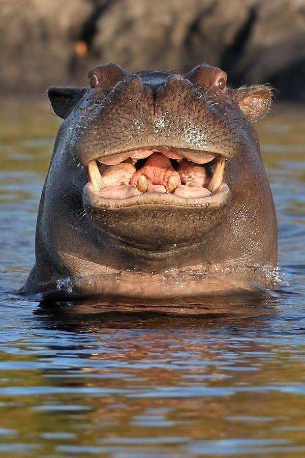 smiling hippo original image