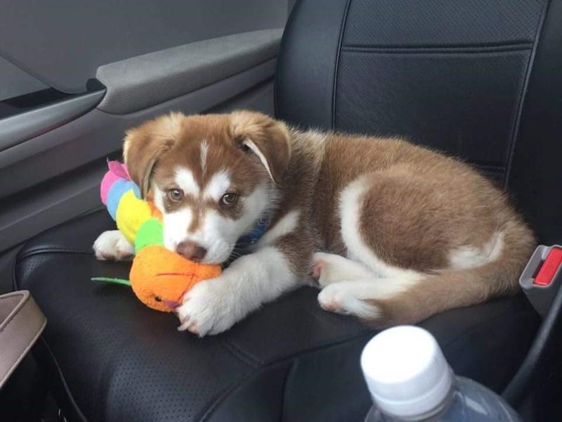 dogs puppy husky - 8976044032
