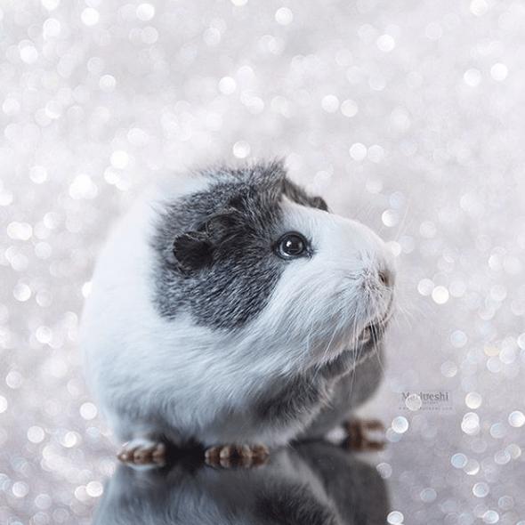 Guinea pig - Matueshi