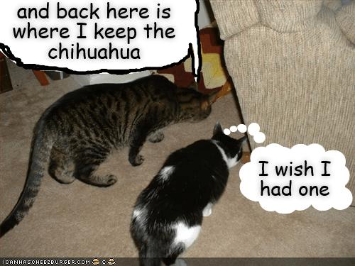 lolcats - Cat - and back here is where I keep the chihuahua I wish I had one ICANHASC HEEZEURGER.COM