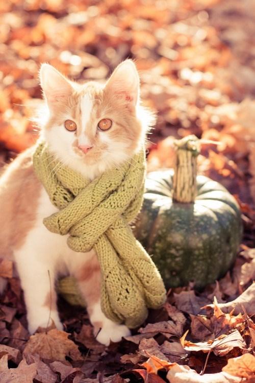 cat wearing a scarf - Cat