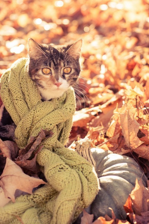 cat wearing a scarf - Cat - Conmer