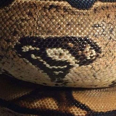 guys-friends-snake-has-natural-superman-logo-emblazoned-on-skin