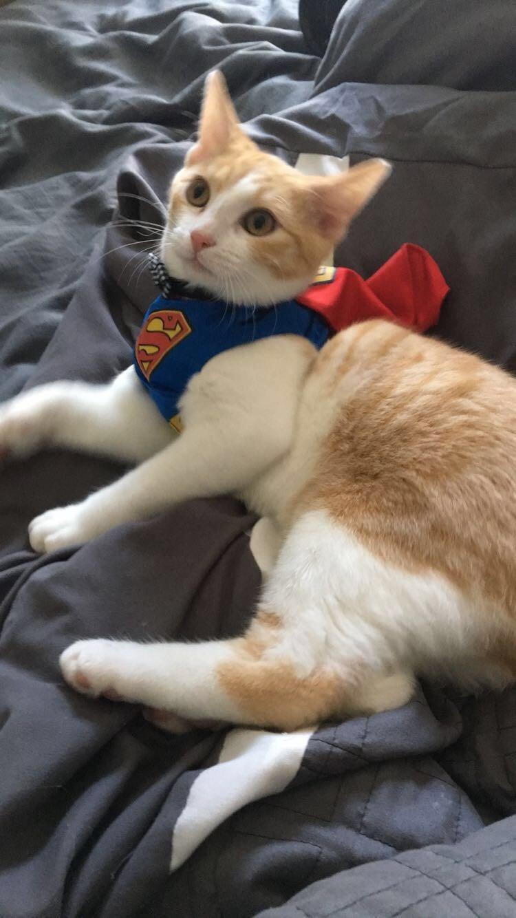 Cats superman - 8977566464