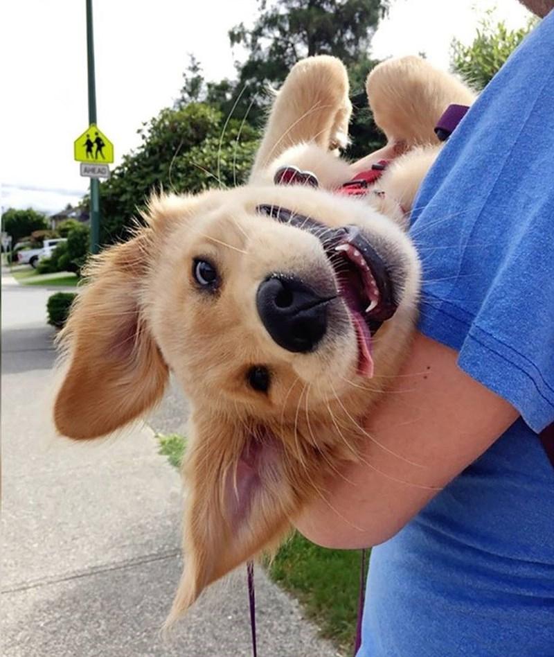dogs golden retriever - 8977566976