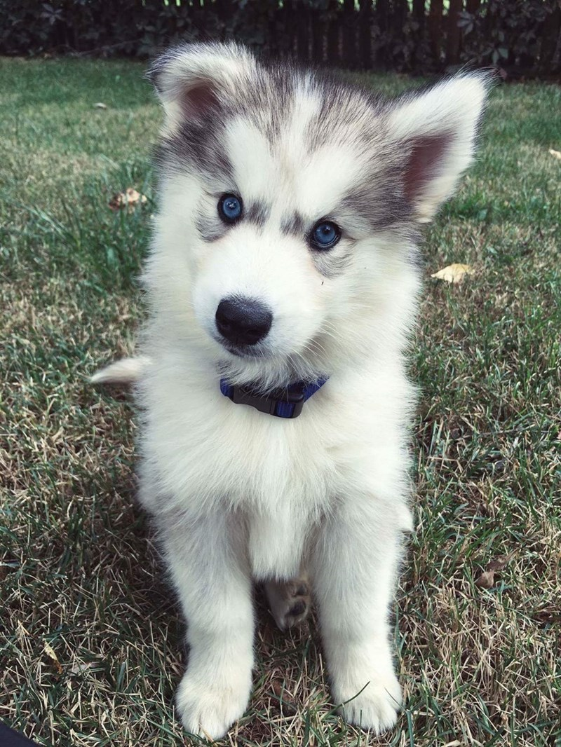 dogs puppy husky - 8977568000