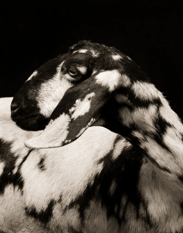 cool goat pics - Black-and-white